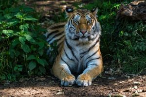 Tiger Laying in the Jungle